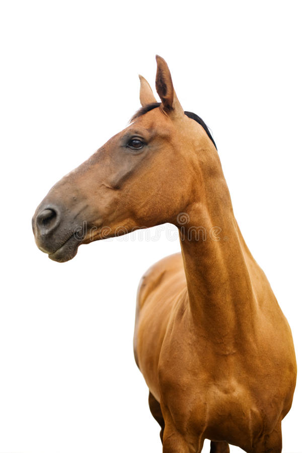 Download Horse stock photo. Image of horse, ride, brown, domestic - 11704078