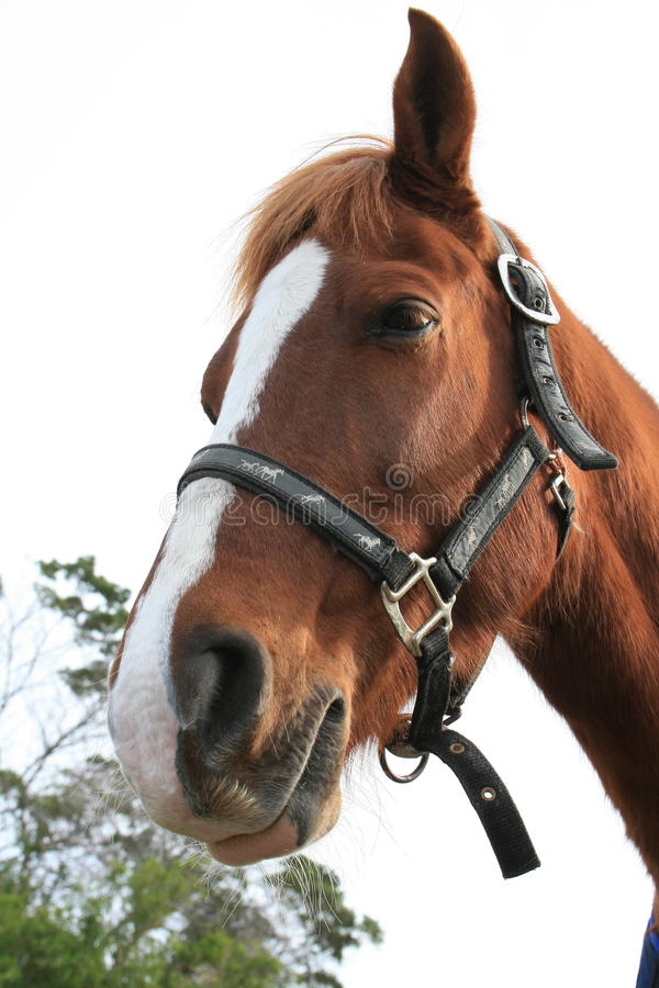 Horse. A portrait of a sweet chestnut colored horse falling asleep stock photos