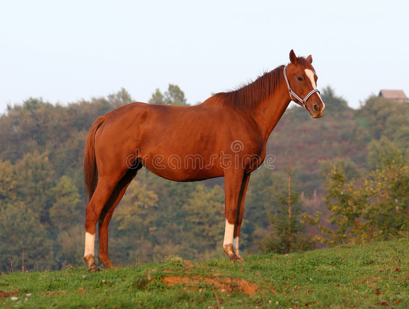 Download Horse stock photo. Image of breed, animal, race, english - 1407446