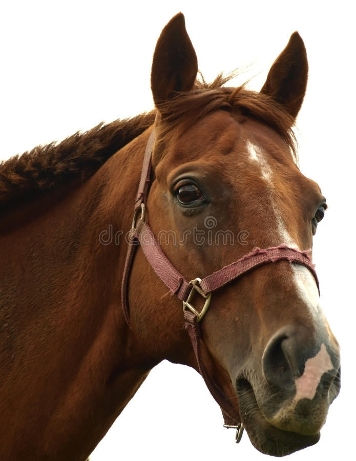Download Horse stock photo. Image of royal, white, head, fast - 15031896