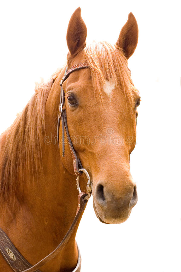 Download Horse stock photo. Image of anglo, ride, horse, equestrian - 15107908