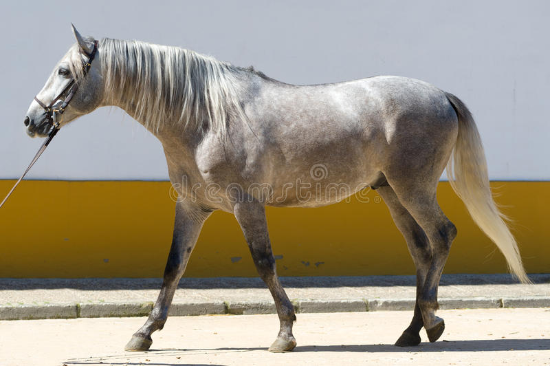 Horse. White spanish stallion in a training ring royalty free stock photos
