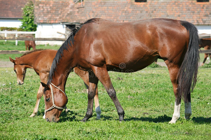 Download Horse stock photo. Image of animals, greenery, grazing - 23919784