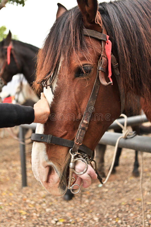 Download Horse stock image. Image of active, face, arabian, beauty - 24639241