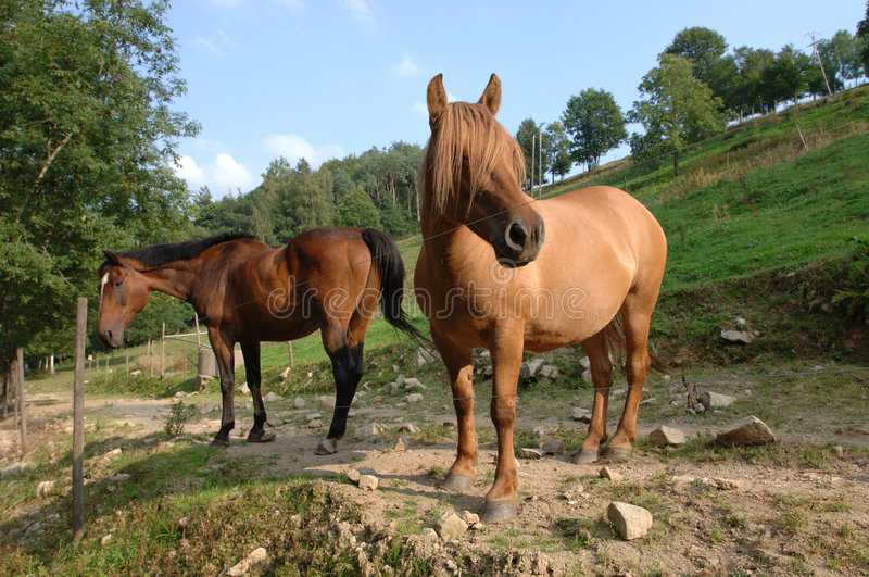 Horse. Two horses, Vosges Mountains, Alsace, France royalty free stock photography