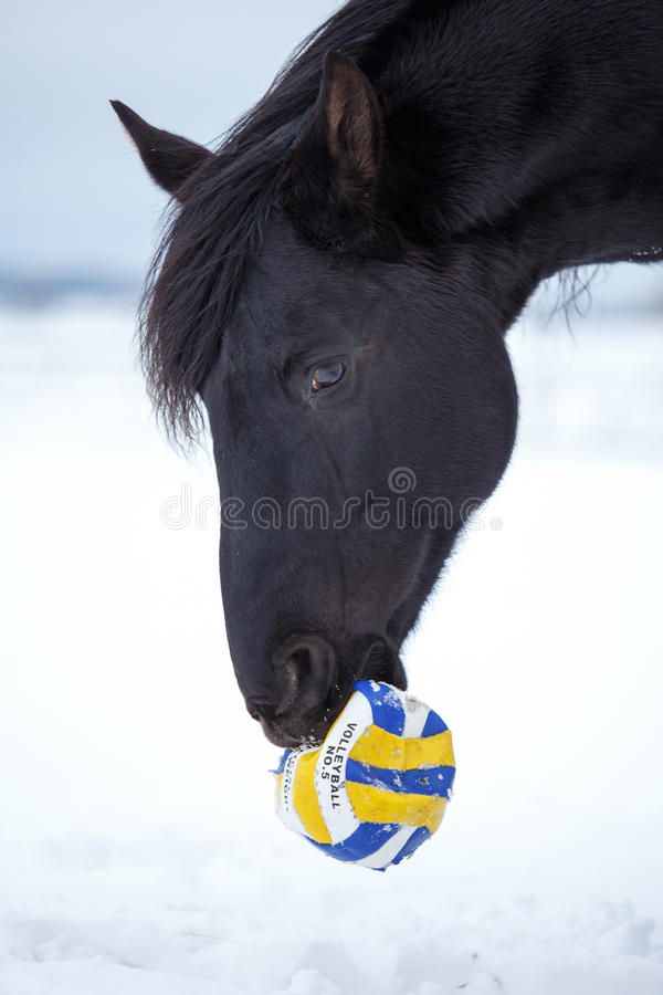 Download Horse stock image. Image of play, stallion, mare, snow - 29380753