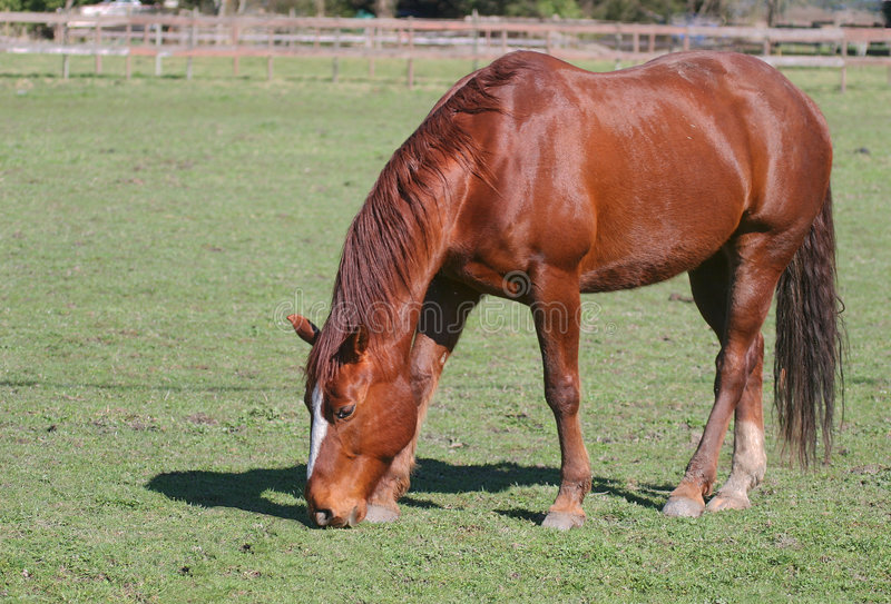Download Horse stock photo. Image of roan, stallion, horse, ranch - 299228