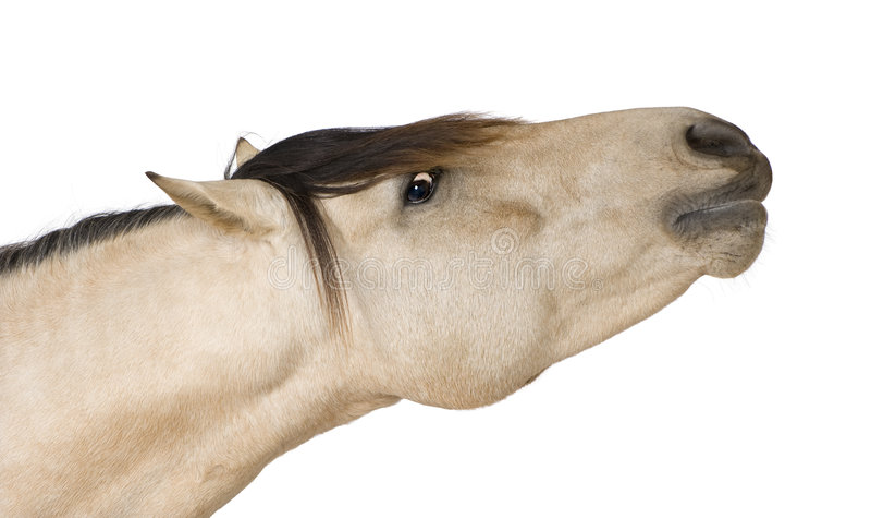 Download Horse stock photo. Image of vertebrate, nobody, isolated - 7136156