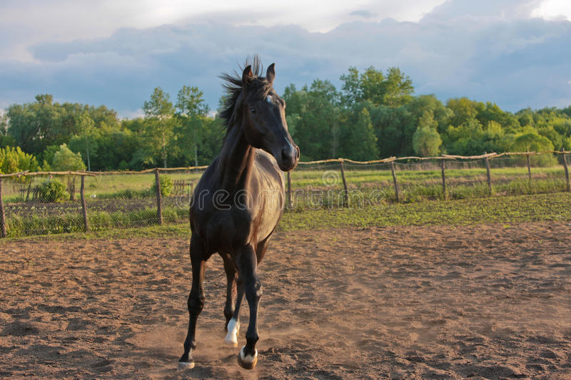 Download Horse stock photo. Image of black, animal, stud, rural - 9800718