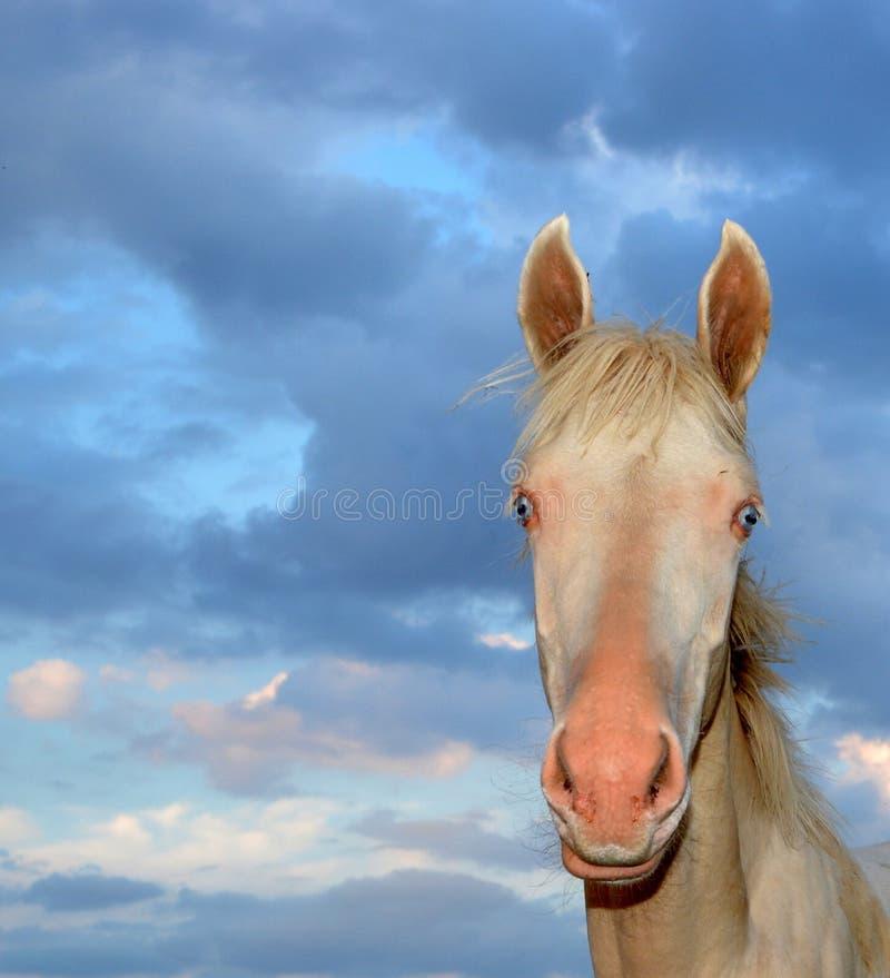 Horse Akhal-Teke royalty free stock photography