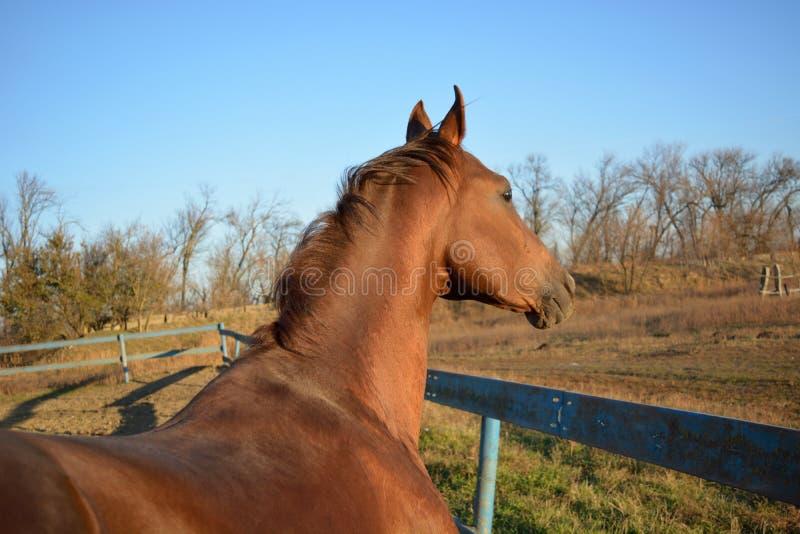 Horse Akhal-Teke stock images