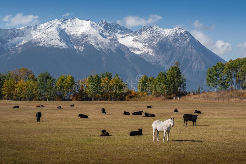 Horse amongst Cows stock photography