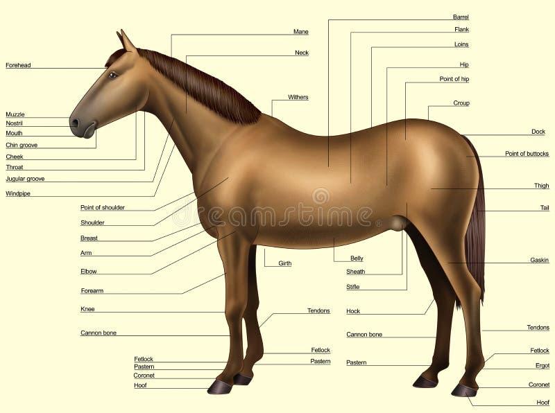 Horse Anatomy Body Parts Stock Illustration Illustration Of