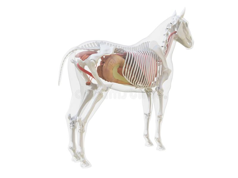 The horse anatomy royalty free illustration