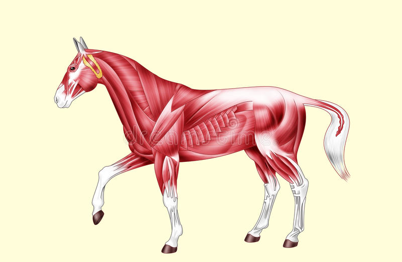 Horse Anatomy - Muscles - No Text Stock Illustration - Illustration ...
