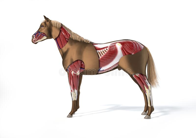 Horse Anatomy. Muscular system royalty free stock images