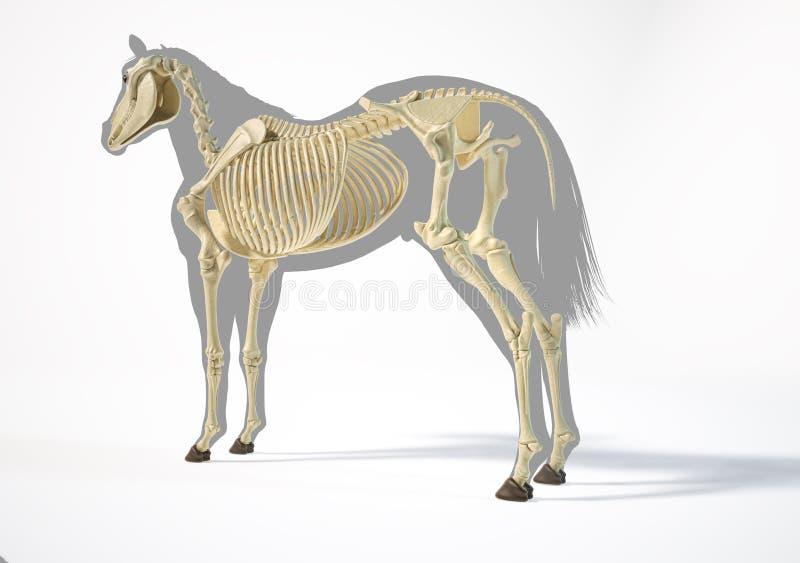 Horse Anatomy. Skeletal system stock photography