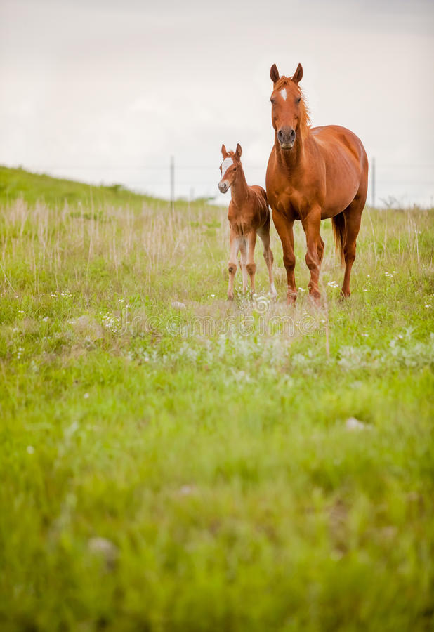 Free Horse And Foal Royalty Free Stock Photos - 72897828