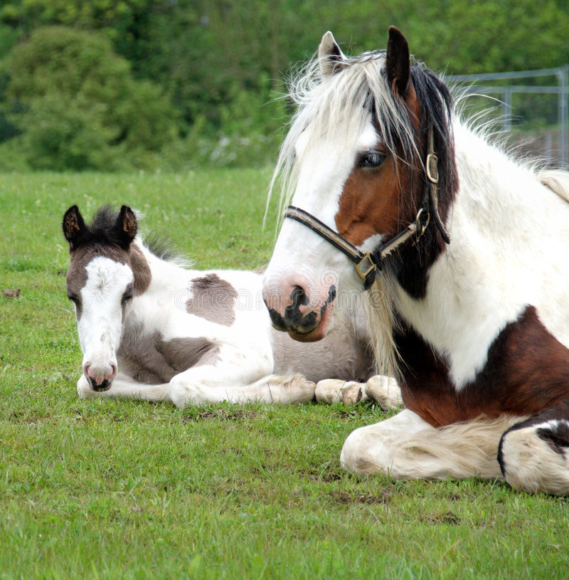 Free Horse And Foal In Sitting In A Meadow Stock Photos - 5098683