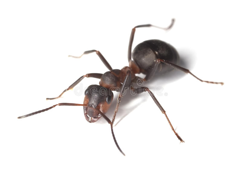 Download Horse Ant Isolated On White Background Stock Photo - Image: 16898096