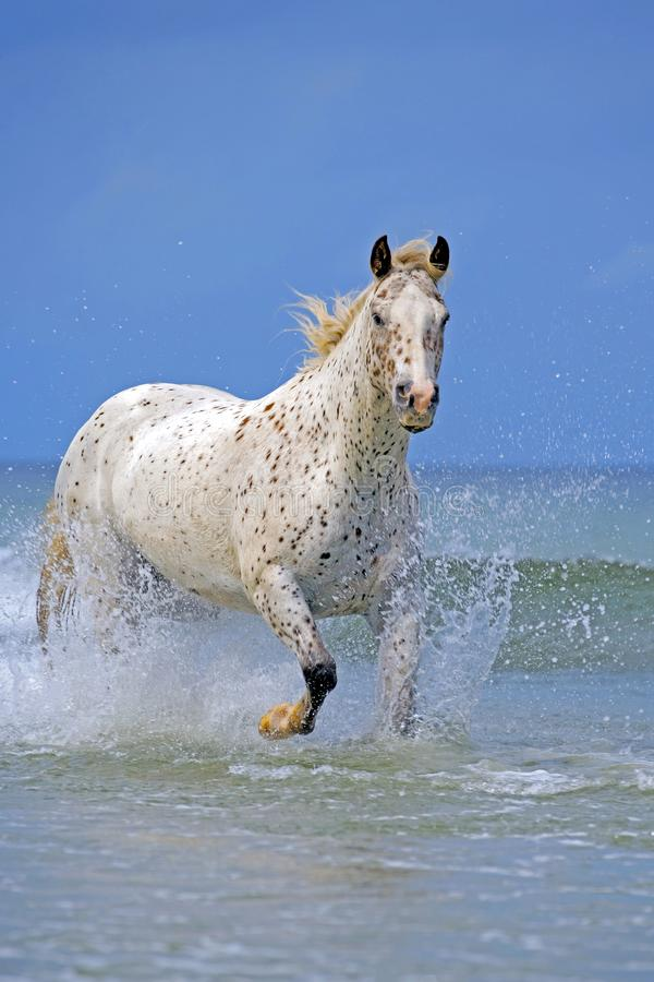 Beautiful Appaloosa Horse running in Ocean Surf, on sunny blue sky summer day. royalty free stock photo