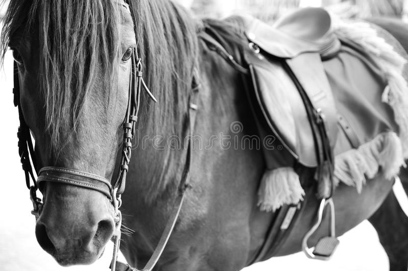 Horse in back and white. Horse head in back and white stock photo