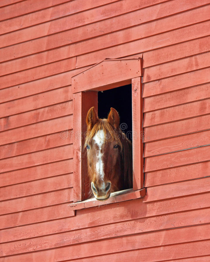 Horse in the Barn. A chestnut horse with white markings looking out of a red New England barn window