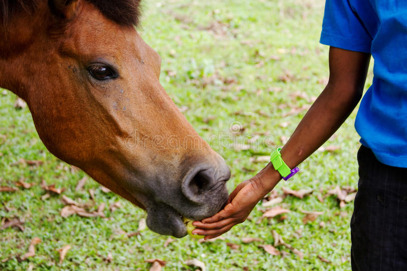 Horse being fed an apple. By young lad royalty free stock image