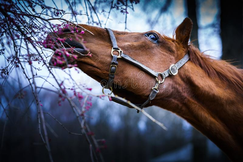 Horse Berry Portrait of a friend. Horse streching to grab some berries. Portrait. Long neck and reach royalty free stock images
