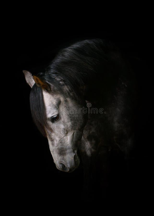 Horse on black stock image