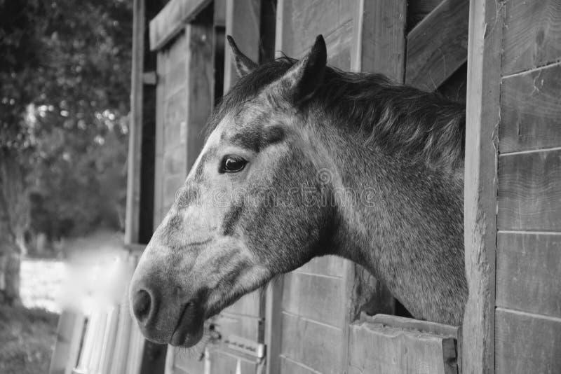 Horse, Black And White, Fauna, Horse Like Mammal stock photo
