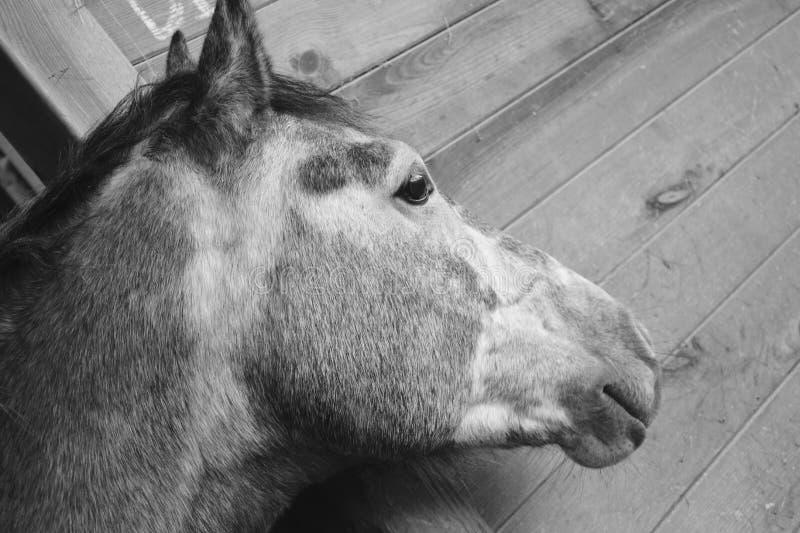 Horse, Black And White, Fauna, Horse Like Mammal royalty free stock photo