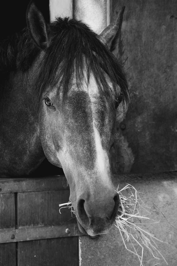 Horse, Black, Black And White, Mane royalty free stock photos