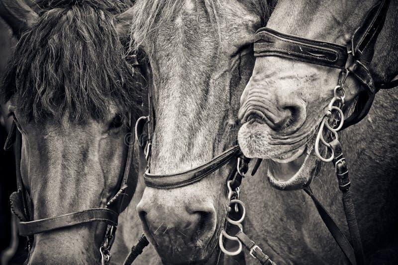 Horse, Black And White, Monochrome Photography, Horse Like Mammal royalty free stock photos