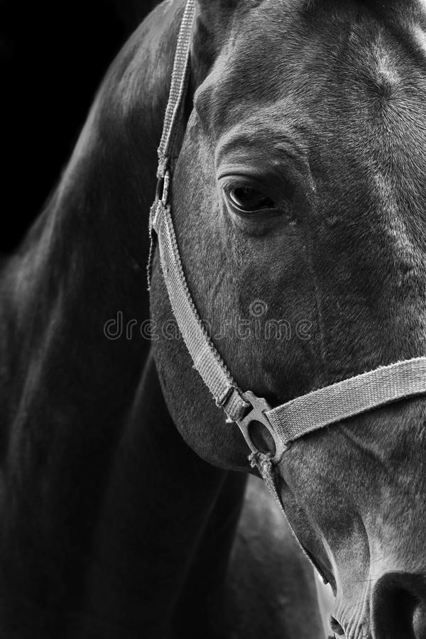 Horse black and white portrait royalty free stock photo
