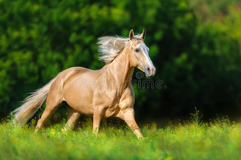 Horse with blond mane. Beautiful palomino horse with long blond mane run on spring meadow stock photography