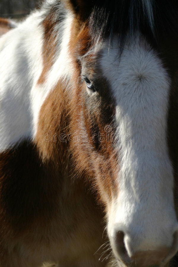 Horse Blue Eye. Close up view of a horses head. Primary focus is on the beautiful blue eye stock photography