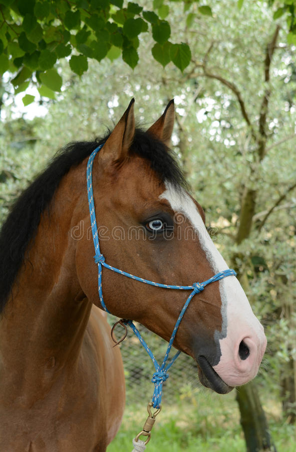 Horse with blue eye. Portrait of a bay horse with black mane and rare blue eyes with attentive facial expression outdoors royalty free stock image