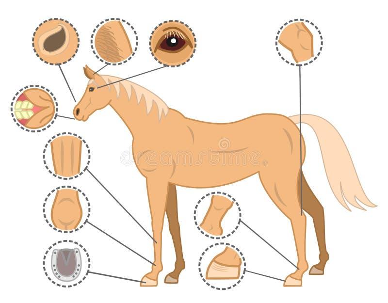 Horse bodys check points.  royalty free illustration