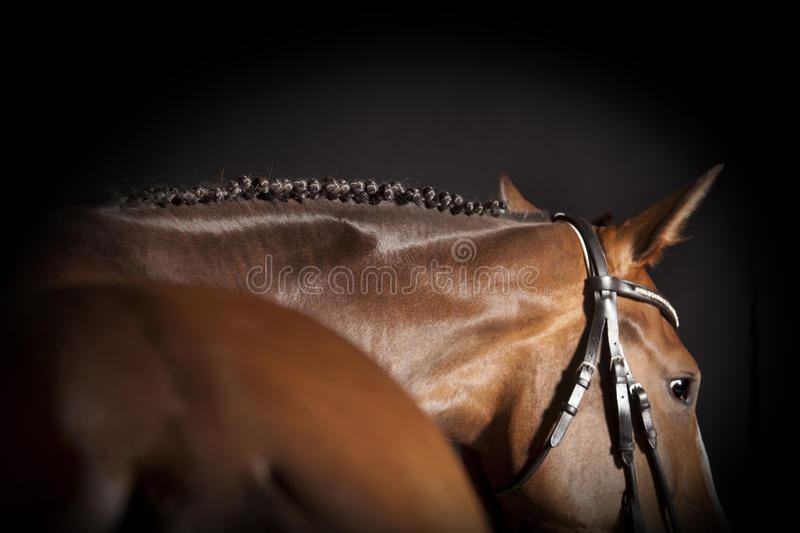 Horse braided mane. A brown riding horse with bridle and plaited mane against a black background stock photo