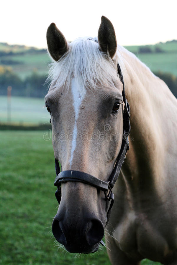 Horse with bridle royalty free stock photography