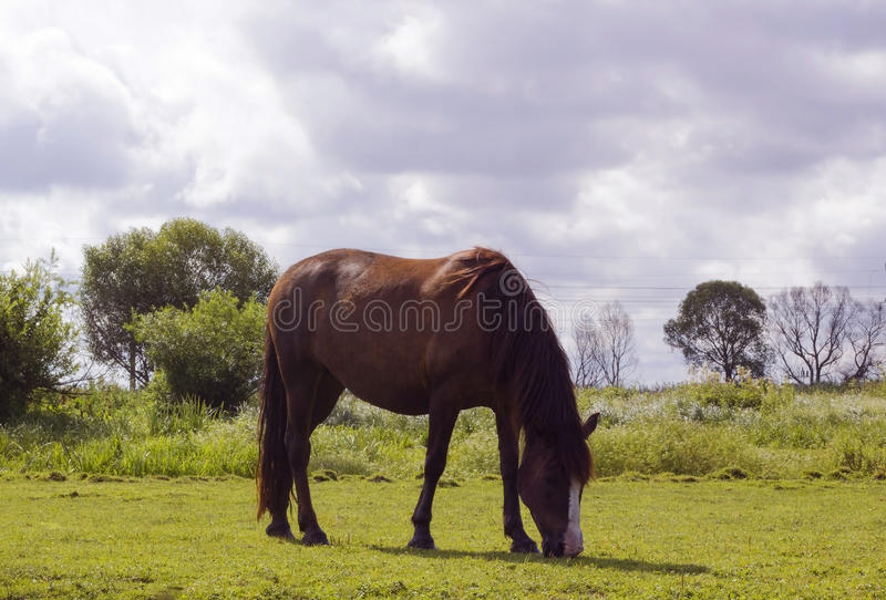 Horse brown color grazes on pasture. Horse brown color. Domestic animal horse grazes on pasture. Summer rural landscape with herd horse in meadow under cloudy stock images