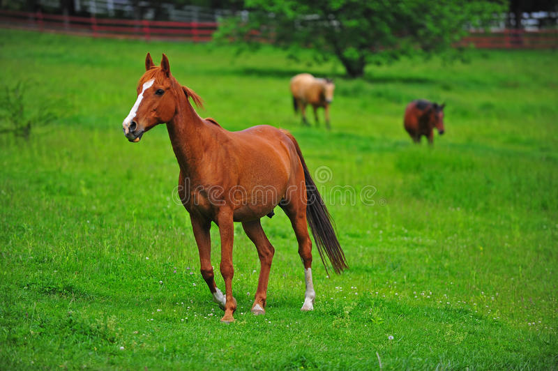 Horse brown colt royalty free stock images