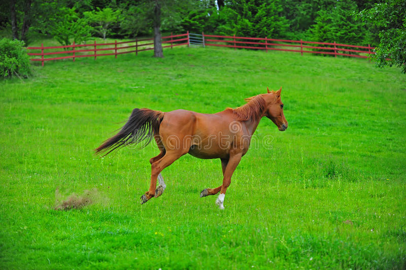Horse brown colt stock image