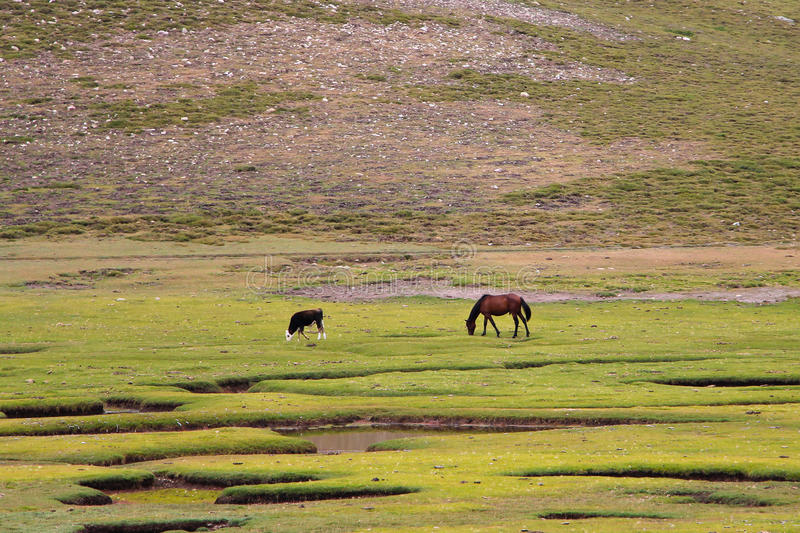 Horse and calf on the field. royalty free stock image