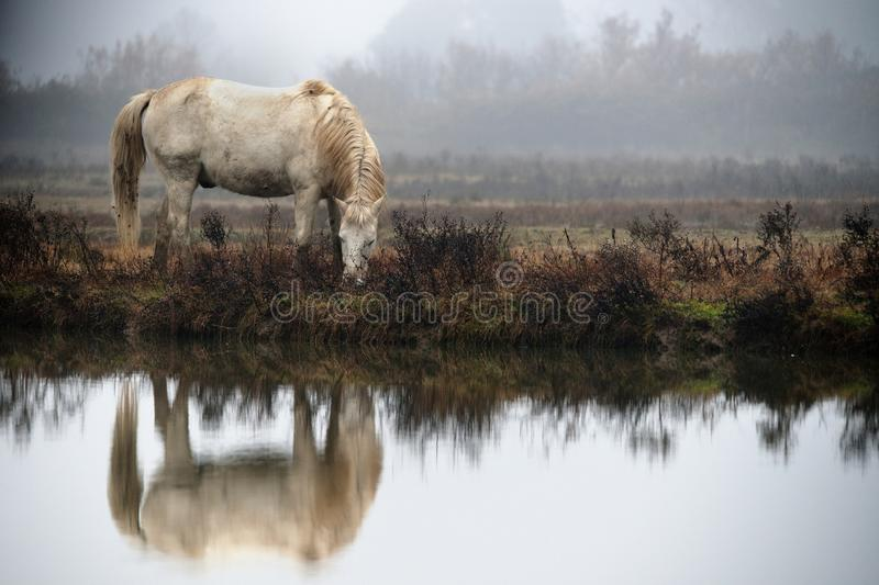 Horse Camargue stock photo