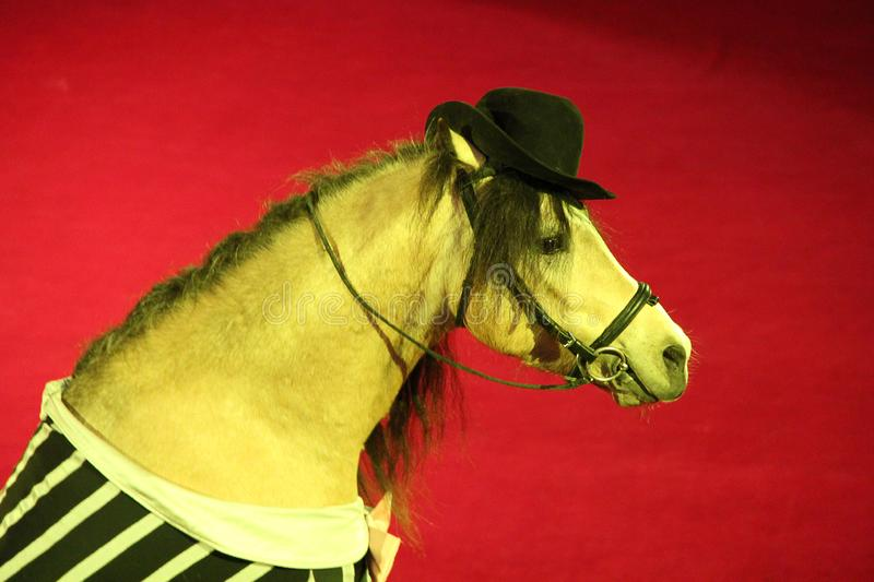 Horse in cap performing in circus ring. Portrait of circus fashionable animal. Horse in cap performing in circus ring. Beautiful portrait of circus fashionable royalty free stock photography