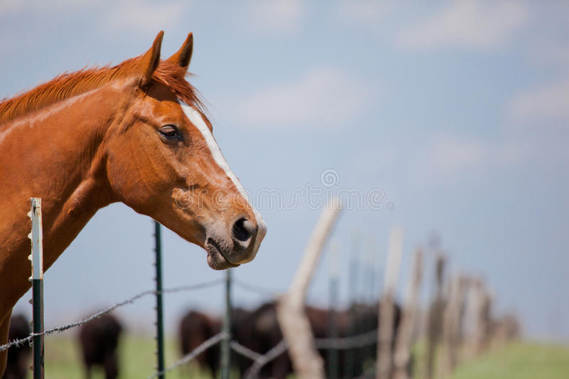 Horse and cattle. Chestnut colored quarter horse behind barbed wire fence in pasture with cattle in background stock photos