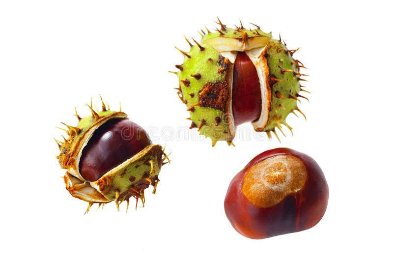Horse-chestnut Aesculus που απομονώνεται στο λευκό στοκ φωτογραφία με δικαίωμα ελεύθερης χρήσης