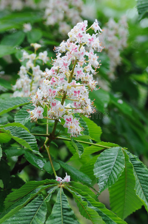 Download Horse chestnut in bloom. stock photo. Image of horse - 26146004
